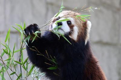 レッサーパンダはかわゆい !!! 八木山動物公園 1
