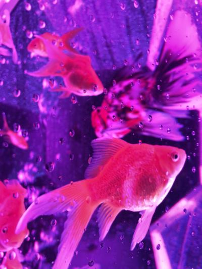 yu-mizお出かけ:2020年11月☆初の二条城で念願の金魚アートアクアリウム