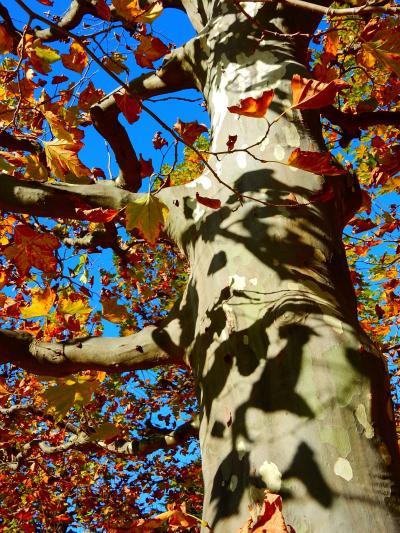 「 秋色をさがしに 神宮外苑イチョウ並木~新宿御苑プラタナス並木 さんぽ」2020