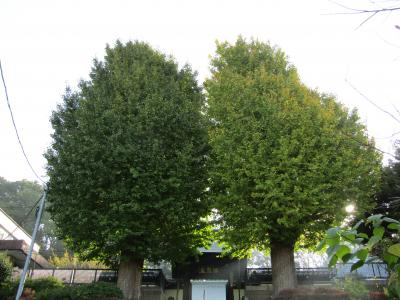 盛徳寺の2本の銀杏の木の色付き具合に差が-2020年秋
