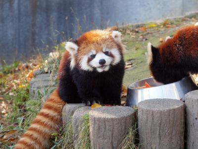 今年生まれたレッサーパンダのあかちゃん ぴーすけ君に会いに「西山動物園」へ ランチはヨーロッパ軒のソースカツ丼