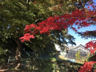 紅葉を探しに小石川散策