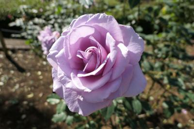 秋の川口グリーンセンター♪ Vol.8 秋のバラ♪