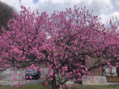 阿智村の花桃