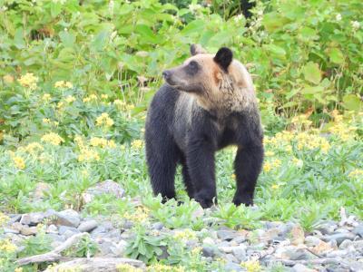 知床でヒグマを観察へ 8月25日 野付半島、ヒグマ観察