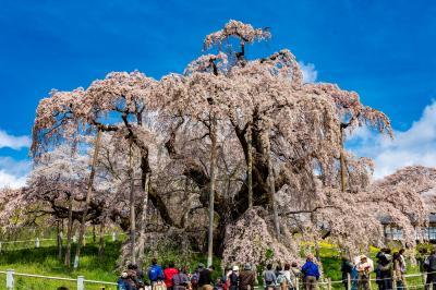 郡山/白河ぐるり旅【2】~樹齢推定1000年超の日本三大桜~三春滝桜