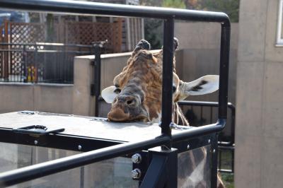 孫たちと旭山動物園に行って、ホテルでお泊り