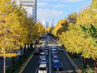 山下公園通り、日本大通りの銀杏は見頃です