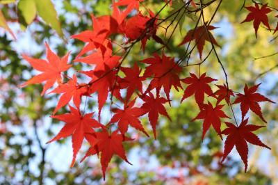 東京九品仏の紅葉 来週見頃です