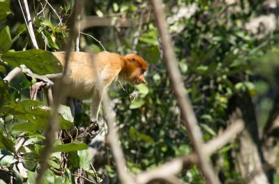 テングザル(Proboscis Monkey)を探しにブルネイへ