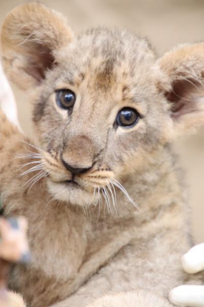 車デビューの富士サファリと伊豆リベンジ遠征(4)富士サファリパーク:マイカーでサファリゾーン&2ヶ月齢のライオンの赤ちゃん授乳タイム