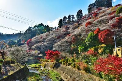 2020紅葉 四季桜と紅葉のコラボ ・川見四季桜の里(11)