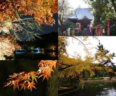 町田薬師池公園を訪ねてー 昼は黄葉を、夜はライトアップを楽しむ