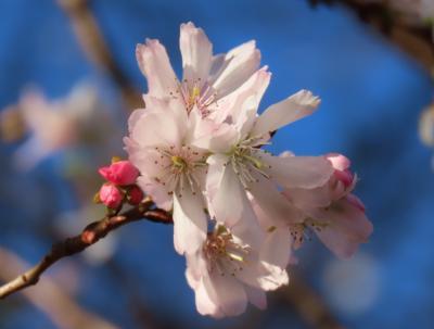 美しく咲いていた冬桜