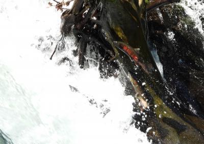 知床でヒグマを観察へ 8月27日羅臼からの帰路 裏摩周 サクラマス