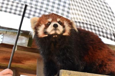 レッサーパンダはかわゆい !!! 八木山動物公園 2