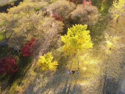 知多市大興寺の四季桜