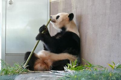 CRESSONで行く~34年ぶり生パンダに会おう!アドベンチャーワールド・私のN01は何時でも牡LION&湯治で有名な椿温泉に入ろう~