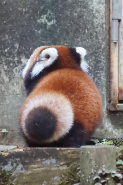 赤ちゃんやニューフェイス詣の紅葉の多摩動物公園(後編)自由閲覧でラッキーなレッサーパンダの赤ちゃんたち&去年生まれの親子も激キュート!