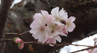寒い日に見られた冬桜