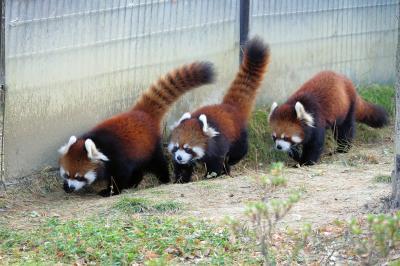 八木山動物公園 スモモちゃん、ヤンヤン君、ほんとうによかったね!! 3シーズン目のペアリングで誕生した双子ちゃんに会いに行きました