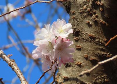 暖かい日に見られた冬桜