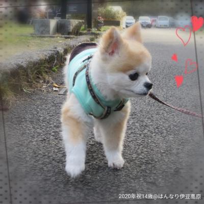 ◆犬旅◆静岡/伊豆高原【はんなり伊豆高原】~祝14歳のお誕生日旅行へGoTo~週末2日間(2020.12)