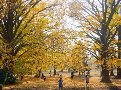 イチョウの黄葉を見に神宮外苑から新宿御苑へ