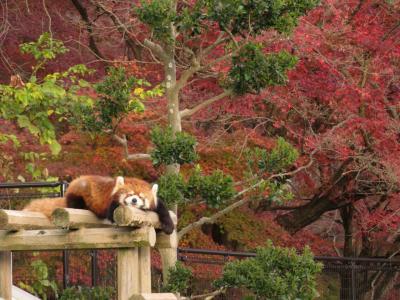 姫路・鯖江レッサーパンダ遠征~公共交通機関では9ヶ月ぶり(3)鯖江前泊はいつものサバエシティホテル&晩秋の西山公園とそこから見渡す鯖江の景色