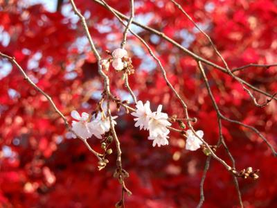 紅葉と冬桜 ディスカバー近所