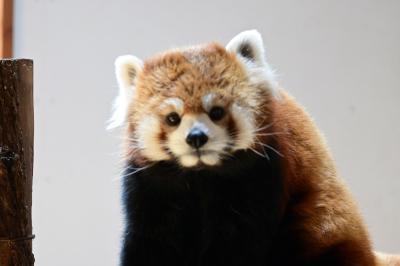 レッサーパンダはかわゆい !!! 長野市茶臼山動物園 2
