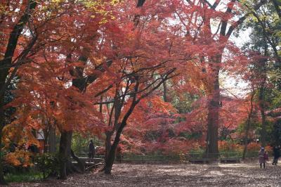 20201210-1 京都 糺の森と下鴨神社。ここの紅葉は、ホンマ遅いのね。