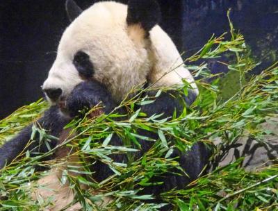 シャンシャンにお別れを言いに上野動物園へ【ところが突然に・・!!】