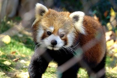 東北サファリパーク いつ訪問しても気持ちのいい美パンダの郷・・・さりげなくラブラブなライライ君とチュイホアちゃんに心癒されました