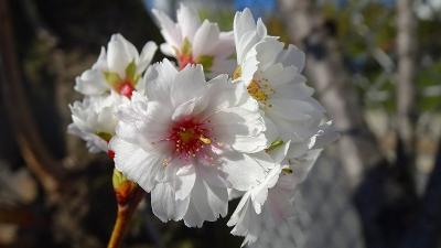 スポーツセンターに咲く子福桜見た後、瑞ヶ池の桜をチェックして帰りました 中巻。