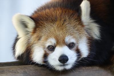 とくしま動物園 ありがとう、大好きなソラ君・・・天国に旅立ったソラ君への献リンゴのため徳島へ