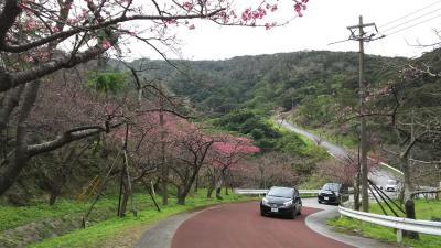華人が群がる日本一の早咲き桜 in 八重岳