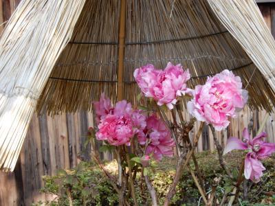 ほんまもんの寒牡丹が咲く『石光寺』 奈良県葛城の郷