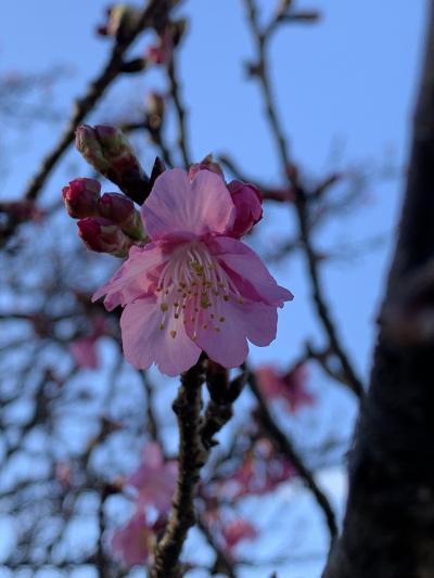 2020桜さくら