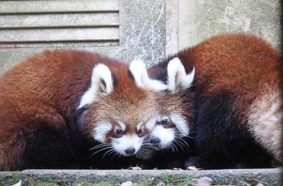 多摩動物公園 フランちゃんとリアンちゃんに会え2020年仔パンダ紀行は完結、花花おばあちゃんも元気そうで嬉しいです