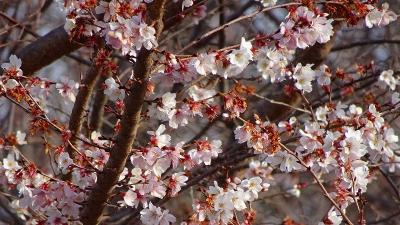 十月桜と蝋梅を探して、宝塚市山本野里⇒伊丹市荻野⇒東野⇒緑ヶ丘と歩きました その3。