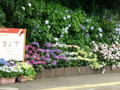 2011年 箱根にアジサイを求めて歩く
