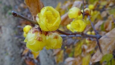 十月桜と蝋梅を探して、宝塚市山本野里⇒伊丹市荻野⇒東野⇒緑ヶ丘と歩きました その4。