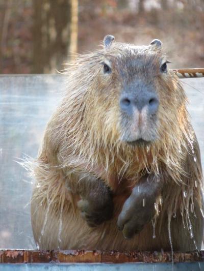 年末の智光山公園こども動物自然公園~コツメカワウソ男子3頭のみだけどご飯タイムに遭遇&樽湯カピバラ・ユメちゃんやブラジルバクのハニワくん来園