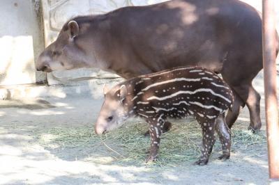 日帰り圏内の甲府にレッサーパンダ小旅行(3)甲府市遊亀公園附属動物園でレッサーパンダのクウちゃん・ホクトとブラジルバクの赤ちゃんにめろめろ