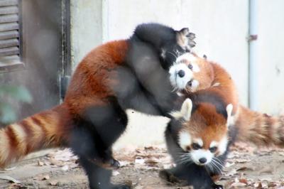 2020年度末の埼玉こども動物自然公園(北園)もふもふ子牛や仲良しバトルのレッサーパンダのリュウ・セイやグンディの赤ちゃん~ビスカチャ会えず
