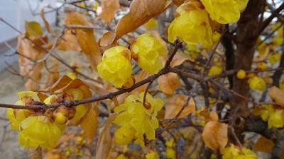 蝋梅の花を探して・・・伊丹市北野・鴻池・荒牧地区 中巻。