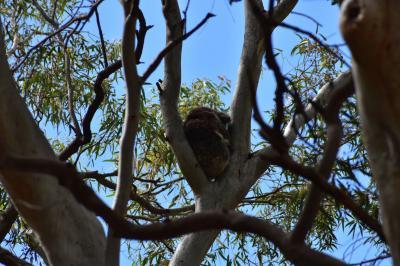 モリアルタ保護公園 アデレードでコアラと出会う