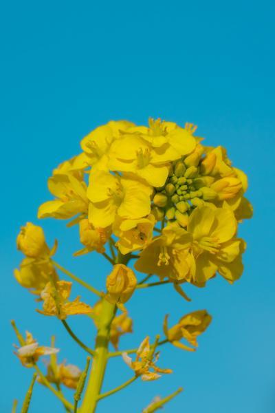 大神ファームの菜の花 2021