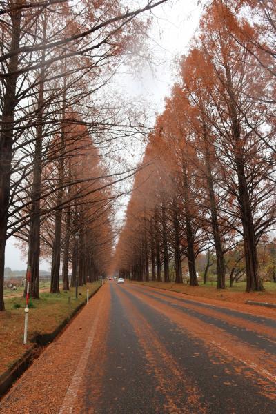 2020年12月 MTBで晩秋のメタセコイア並木道へ!着いたら雨で即撤収~(*´Д`)